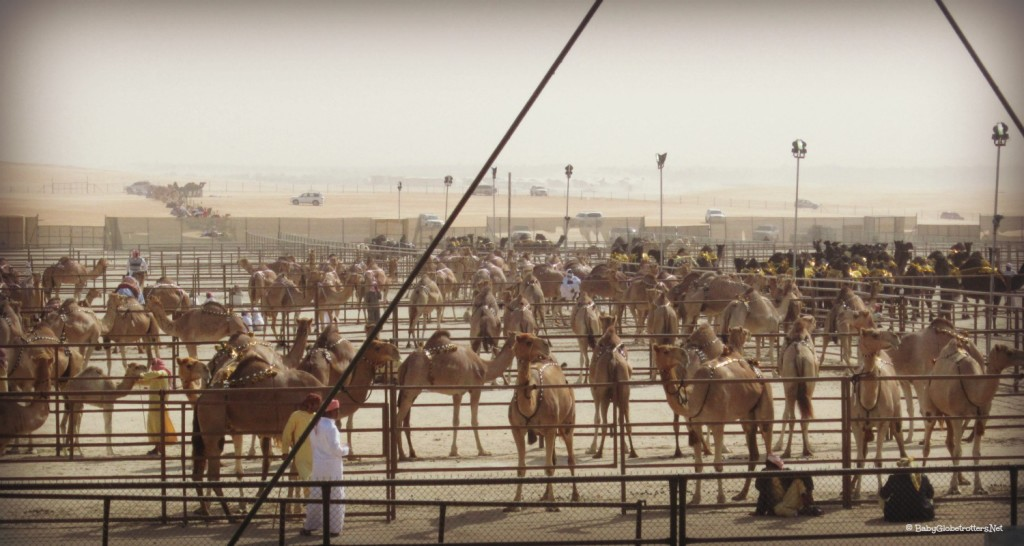 Camels waiting to be judged at the beauty competition - Camel Mazayna | How to tackle the Al Dhafra Festival with Kids | Discover the UAE with OurGlobetrotters.Com