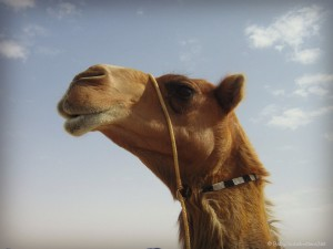 Al Dhafra Festival: How to pick a beautiful camel | Discover the UAE | OurGlobetrotters.Net