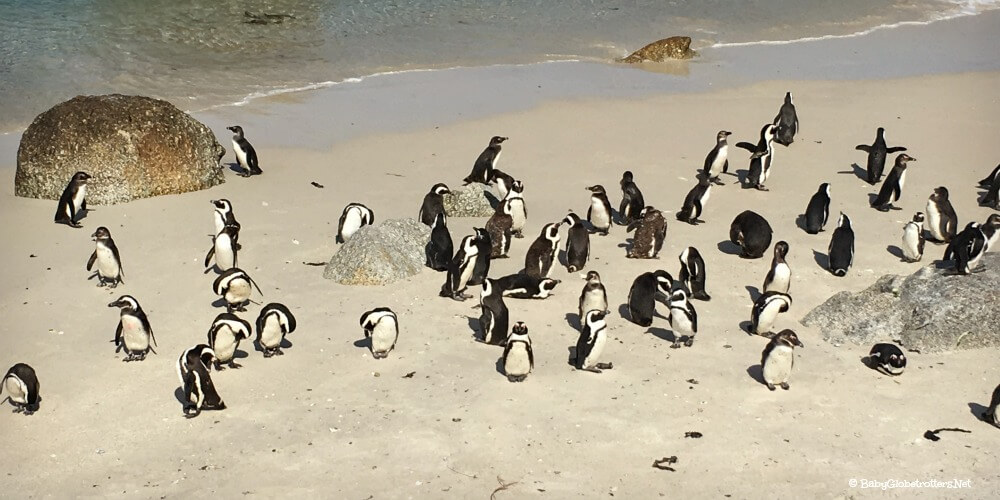 Swim with penguins at Boulder Beach | Cape Town with Kids | OurGlobetrotters.Net