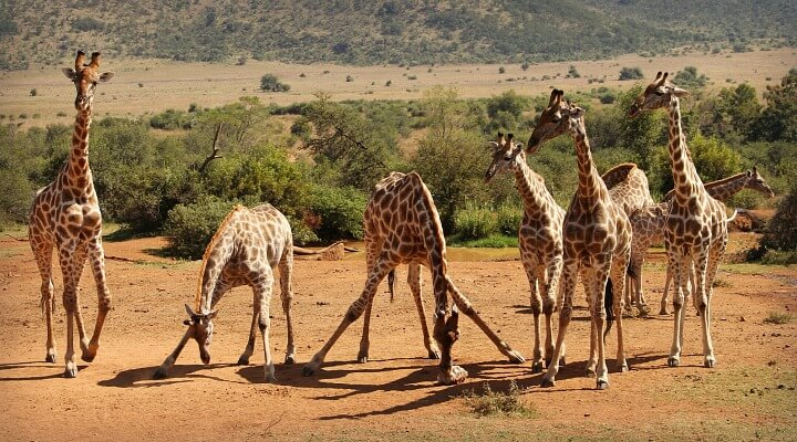 South Africa Safari Giraffes | Why we didn't do a South Africa Safari | Cape Town with Kids
