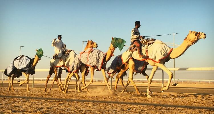 Culture in the UAE - camel racing training at Al Dhafra Festival