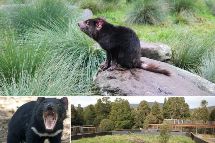 Cevils at Cradle Mountain Australia's best animal encounters | Our Globetrotters