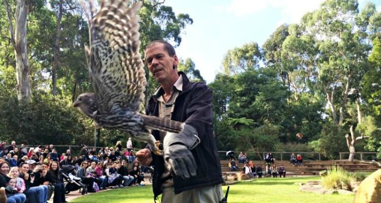 Birds of prey display at Healesville Wildlife Sanctuary | Best Australian Animal Encounters | Our Globetrotters