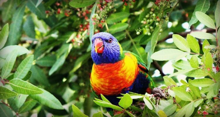 Rainbos Lorikett | Best Australian Animal Encounters