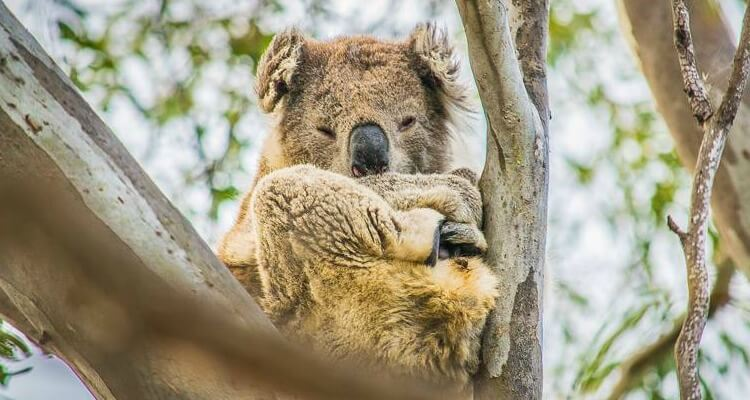 Raymond Island in Gippsland, Victoria home to Koalas | Best Australian Animal Encounters | Our Globetrotters
