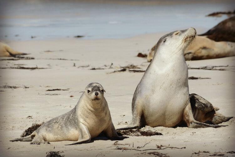 Sea Lions at Kangaroo Island | Best Australian Animal Encounters