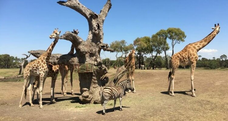 Werribee Zoo | Best Australian Animal Encounters | Our Globetrotters