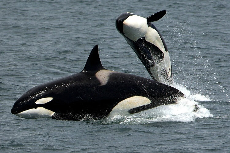 Killer Whales can be found near Bremer Bay Jan to March | Australia's Best Animal Encounters | Our Globetrotters