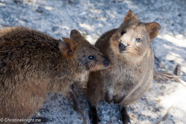 Quokkas on Rottnest Island | Best Australian Animal Encounters